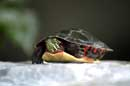 Painted Turtle in the Garden - © 2004 Lauri Kangas