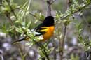 "Northern ""Baltimore"" Oriole - ©2005 Lauri A. Kangas"